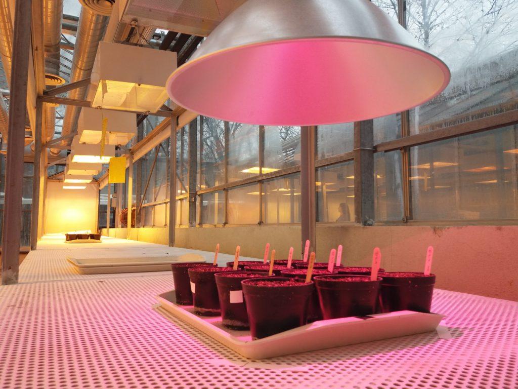Arabidopsis LED próbavilágítás - MTA SZBK Szeged