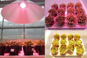 MTA SZBK SZeged LED növényvilágítás kisérlet LEDIUM